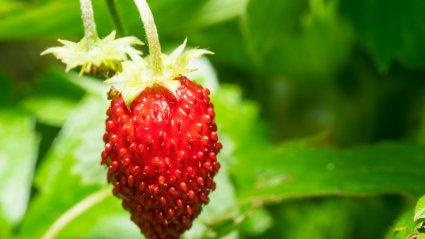 kodus; strawberry